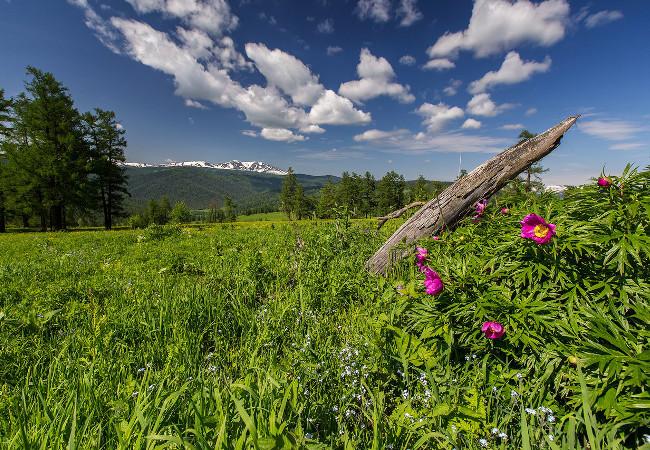 Фотогалерея: Травы Горного Алтая. Лето 2020г.