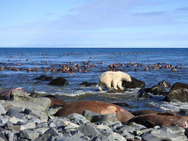 Фотогалерея: Моржи и белые медведи Чукотки, фото-тур. 2019г.