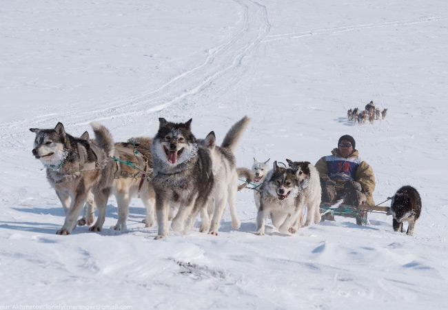 Фотогалерея: На собачьих упряжках по Восточной Чукотке.