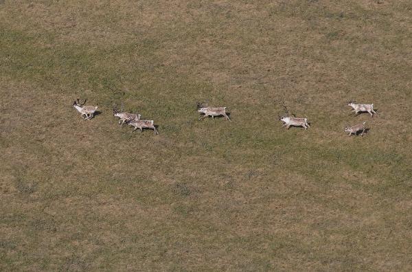 Фотогалерея: Весенняя охота на гуся. Таймыр.